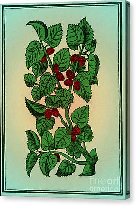 Red Mulberry Canvas Print by Science Source