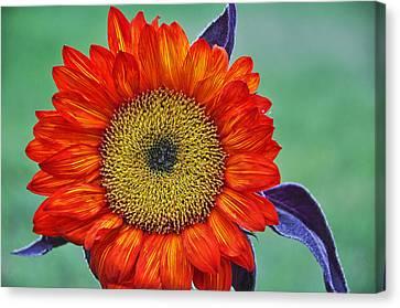 Red Sunflower  Canvas Print by Saija  Lehtonen