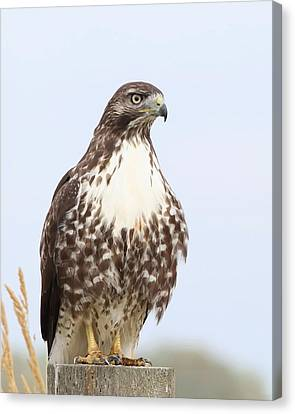 Red-tail Hawk  Canvas Print by Angie Vogel