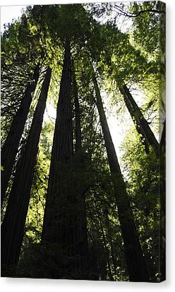 Red Woods Canvas Print by Paul Plaine