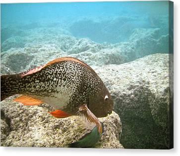 Redlip Parrotfish Canvas Print by Michael Peychich