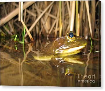 Resting Bullfrog Canvas Print by Ted Kinsman