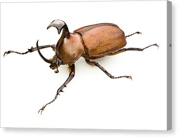 Rhinoceros Beetle Canvas Print by Lawrence Lawry