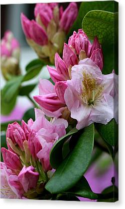 Rhododendron In Bloom Canvas Print by Valia Bradshaw