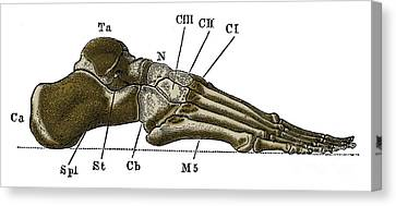 Right Foot Canvas Print by Science Source