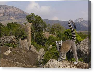 Ring-tailed Lemur Lemur Catta Portrait Canvas Print by Pete Oxford