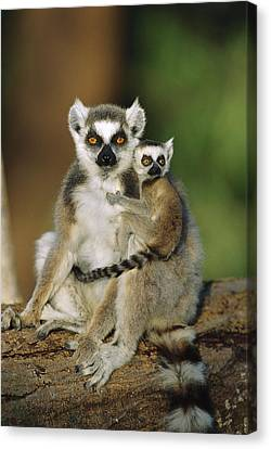 Ring-tailed Lemur Mother And Baby Canvas Print by Cyril Ruoso