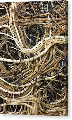 Roots Of A Pot-bound Buddleja Plant Canvas Print by Dr Jeremy Burgess