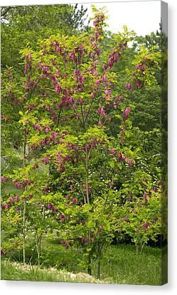 Rose Acacia (robinia Hispida) Canvas Print by Bob Gibbons