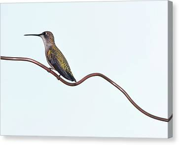 Ruby Throated Hummingbird Canvas Print by Jim McKinley