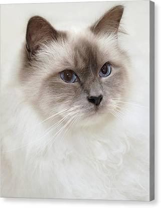 Sacred Birman Cat With Blue Eyes Canvas Print by MariaR