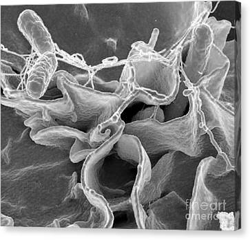 Salmonella Bacteria, Sem Canvas Print by Science Source
