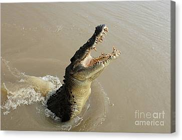 Salt Water Crocodile 2 Canvas Print by Bob Christopher