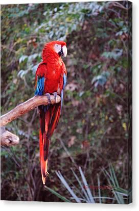 Scarlet Macaw Canvas Print by DiDi Higginbotham