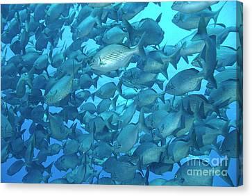 School Of Cortez Sea Chub Fishes Canvas Print by Sami Sarkis