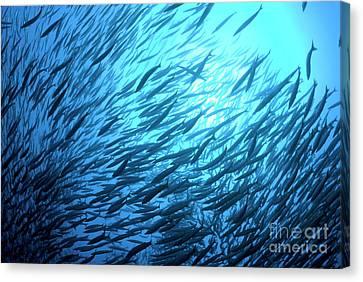 School Of Pelican Barracudas Canvas Print by Sami Sarkis