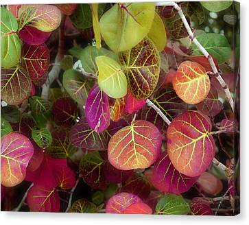 Sea Grape Canvas Print by Joseph G Holland