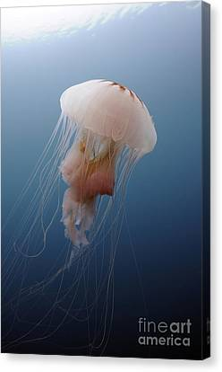 Sea Nettle Jellyfish In Atlantic Ocean Canvas Print by Karen Doody