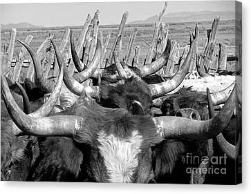 Sea Of Horns Canvas Print by Megan Chambers