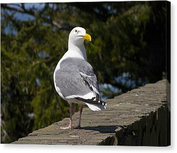 Canvas Print featuring the photograph Seagull by David Gleeson