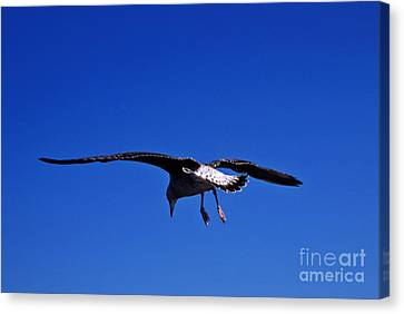 Seagull In Flight Canvas Print by John Greim