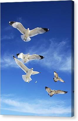 Seagulls Ascending Canvas Print