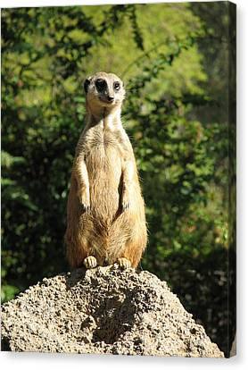 Canvas Print featuring the photograph Sentinel Meerkat by Carla Parris