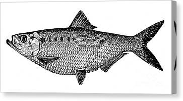 Shad Canvas Print by Granger