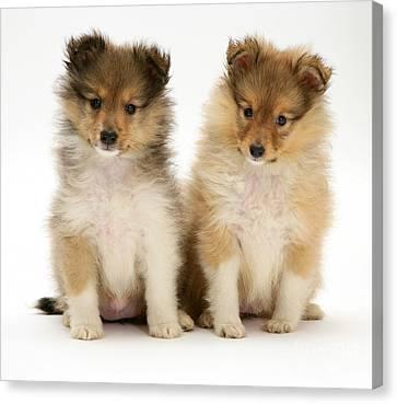 Sheltie Puppies Canvas Print by Jane Burton