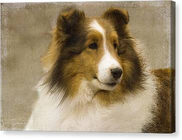Sheltie Canvas Print by Rebecca Cozart