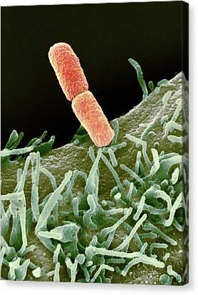 Shigella Bacteria, Sem Canvas Print by