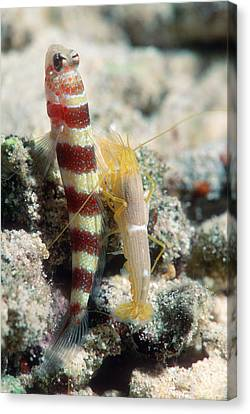 Two Wheeler Canvas Print - Shrimp Goby With Its Partner Shrimp by Georgette Douwma