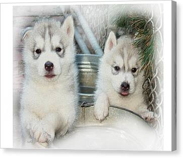 Siberian Husky Puppies Canvas Print by Jean Gugliuzza
