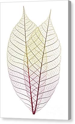 Thin Canvas Print - Skeleton Leaves by Elena Elisseeva