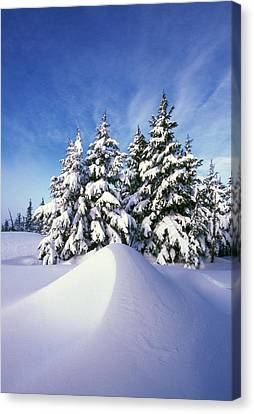 Snow-covered Pine Trees Canvas Print