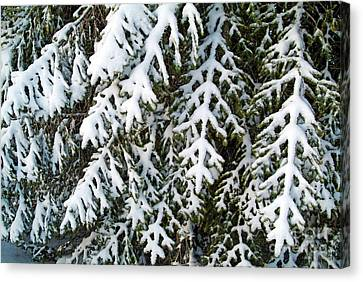 Snowy Fir Tree Canvas Print by Sami Sarkis
