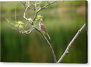 Song Sparrow Canvas Print by Mary McAvoy