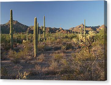 Sonoran Desert Scene With Saguaro Canvas Print by George Grall