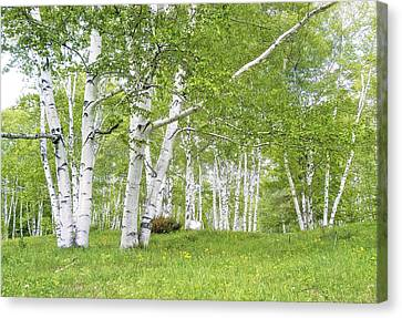 Spring Birches Canvas Print