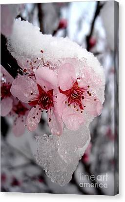 Spring Blossom Icicle Canvas Print by Kerri Mortenson
