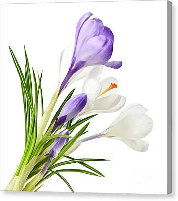 Spring Crocus Flowers Canvas Print by Elena Elisseeva