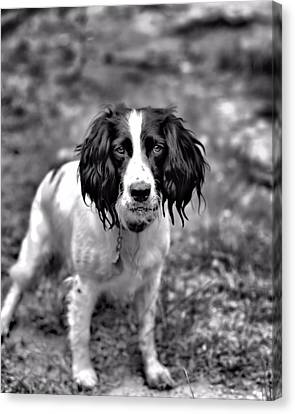 Springer Spaniel Canvas Print by Marlo Horne