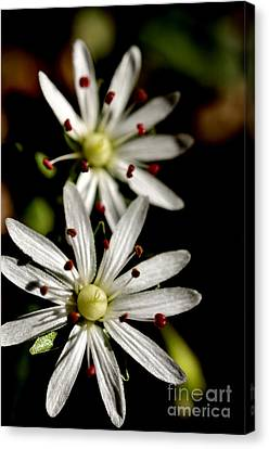 Star Chickweed Canvas Print by Thomas R Fletcher