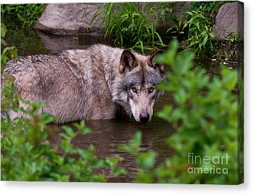 Wildlife Canvas Print - Staying Cool by Michael Cummings