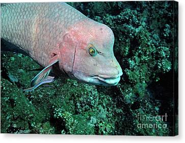 Streamer Hogfish Or Mexican Hogfish Canvas Print by Sami Sarkis