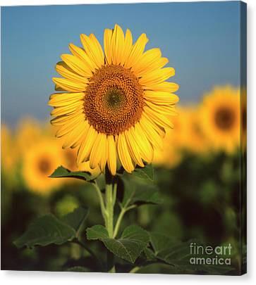 Sunflower Canvas Print by Bernard Jaubert