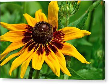 Sunflower Canvas Print by Kathy King