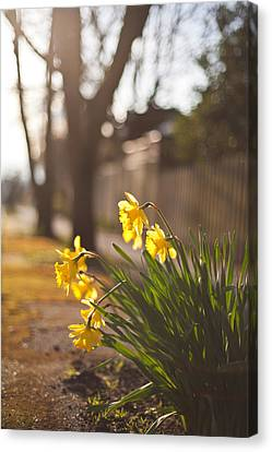 Sunlit Daffodils Canvas Print by Mike Reid