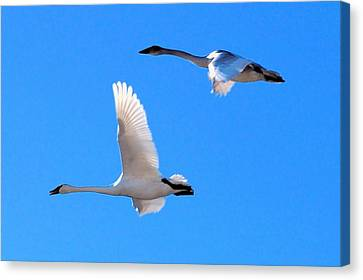 Swans On Blue Sky Canvas Print by Don Mann