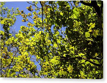 Sycamore Leaves (acer Pseudoplatanus) Canvas Print by Dr Keith Wheeler